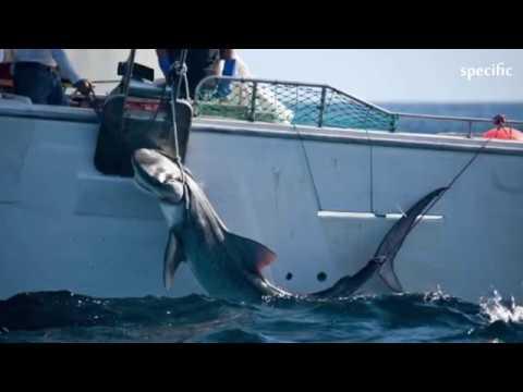 Australia news  | Tiger sharks shot and killed  in Queensland's Whitsundays