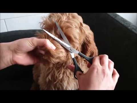 australian labradoodle puppy grooming