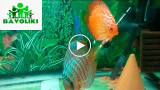Наш аквариум 500 литров. Аквариумные рыбки. Дискусы.(У нас дома стоит аквариум на 500 литров, который, кстати, наш папа сделал собственными руками. И это был его..., 2016-02-22T18:27:07.000Z)
