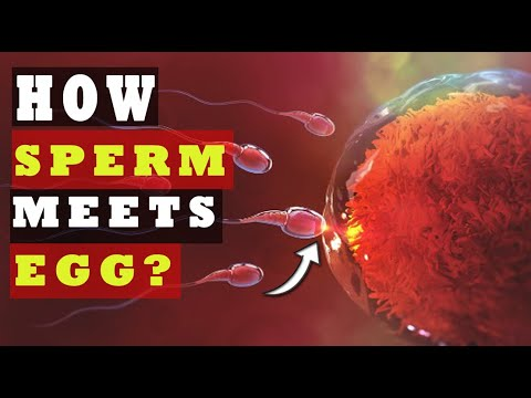 Download How Sperm Meets an Egg to Fertilize | How Fast Sperm Travels to the Egg (SCIENCE EXPLAINED!)