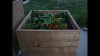 Gardening Tips - Sweet Potatoes - by Catherine Bellaire
