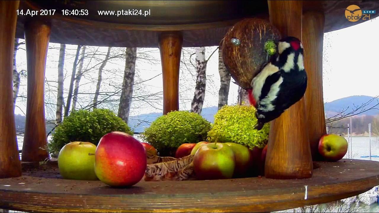 Bartek wyjada słonecznik z kokosa w karmniku nad Soliną
