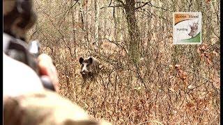 Охота на диких кабанов в Польше