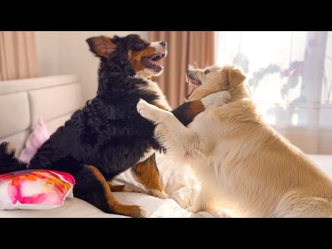 Golden retriever and Bernese Mountain Dog Fighting on the Bed