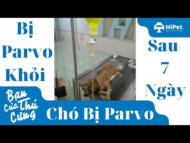 Chó Bị Parvo Sau 7 Ngày Khỏi Bệnh - HiPet