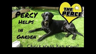 Percy the Black Labrador 's gardening Top Tips - clever and cute!