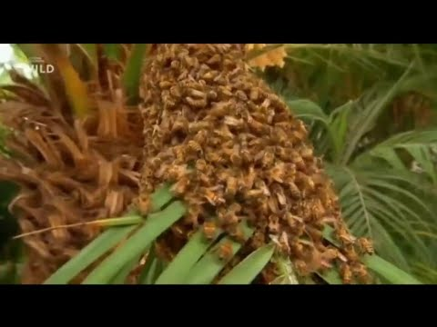 Вопрос: Чем опасна африканизированная пчела Чем она отличается от обычной?
