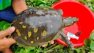 Tortoise Hunting | Boy Hunting a Big Tortoise With Small Fish From Hole