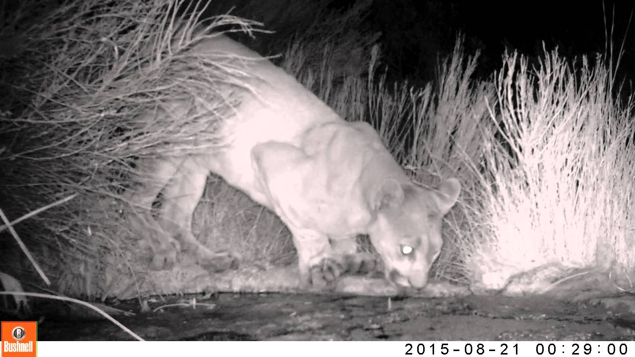 2bca8630a41 Mountain lion (Puma concolor) male in San Diego County - YouTube