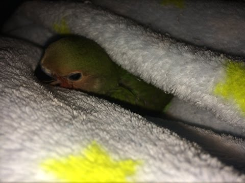 How to bathe your baby Lovebird.