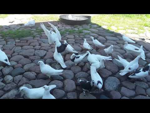 Бакинские голуби линий Тарона.+37068613895 Валдас