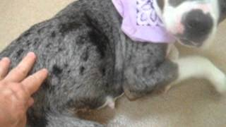 Meet Marshmellow A Catahoula Leopard Dog Currently Available For Adoption At Petango.com! 9/16/2015
