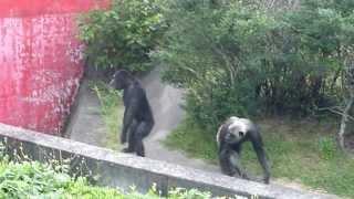 犬山モンキーセンターのチンパンジー君です。観客皆で拍手を連続すると...