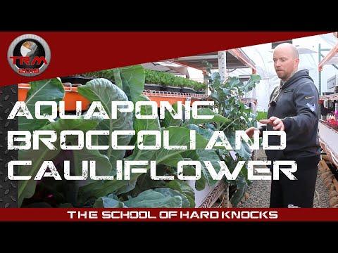 Growing AQUAPONIC BROCCOLI & CAULIFLOWER – Things to Consider