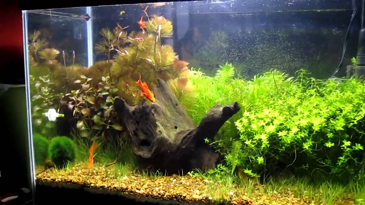 My 20 gallon fish tank youtube my 20 gallon tiger barb for Fish tank youtube