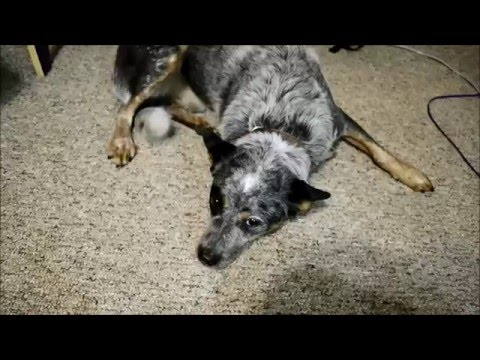 Rescued Australian Cattle Dog Doesn't Like Treats On His Nose