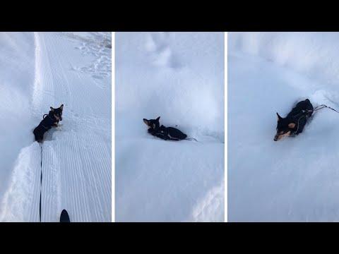 Little Corgi Gets Stuck In The Snow