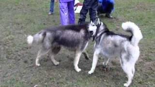 21頭の犬、19頭ものシベリアンハスキーが雨の中集まりました。 各々楽...
