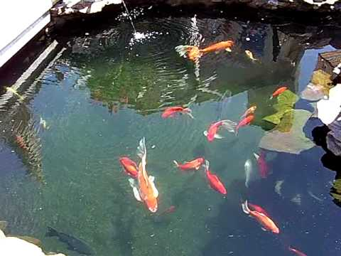 Koi pond water now clear youtube for Koi pool water