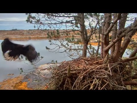Smola Norway Eagle Nest Cam ~ Welcome Home; Solo Spends The Night 9.11.17