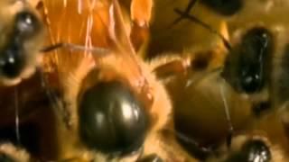 فيديو رائع!  1. جنس النحل