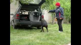 Personal Protection Dogs For Sale-crate Training In The Car With Brandon
