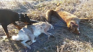 ОХОТА - МЕЧТА!!! на зайца, лису, утку с ягдтерьером. Красивая охота в солнечный день.