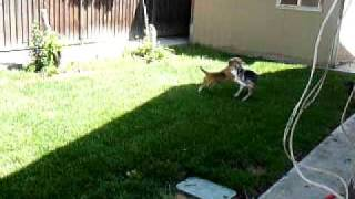 Ncarf - Beagle Rescue - Charlie And Warren At Play...love At First Site.