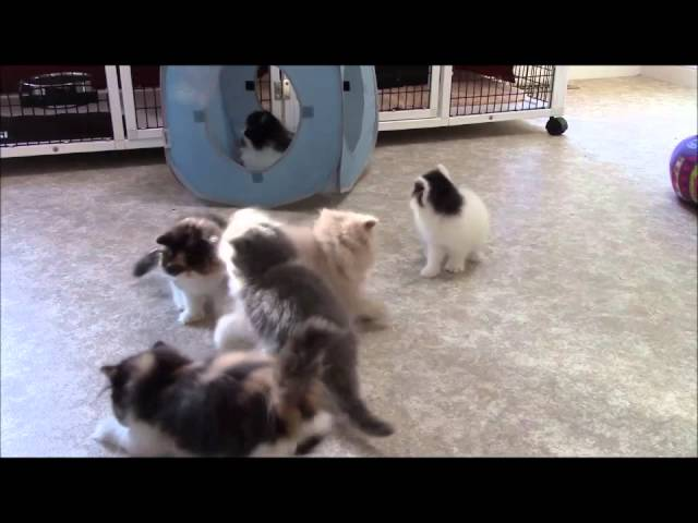 Persian Kittens at Play