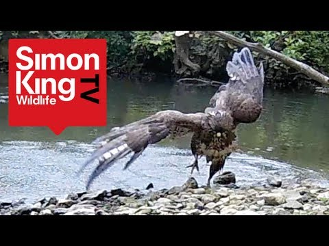 Buzzard Bathing - Rare View!