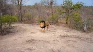 ZA 104 Brullende leeuw