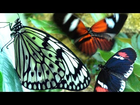 Butterflies Flying in Slow Motion HD - Houston Butterfly Museum
