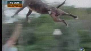 Big jump Pit Bull