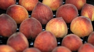 Figuring out the difference between nectarines and peaches