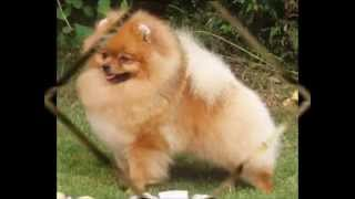 House Training A Pomeranian | Tired of Stepping In Dog Poo? Get Your Pomeranian House Trained Now!