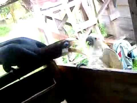 Burung taon vs Kakatua..3GP