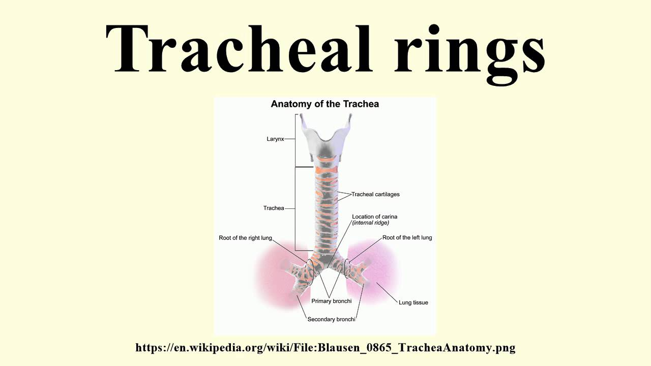 Tracheal Rings Youtube