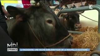 La Bazadaise, un vache emblématique de la Nouvelle-Aquitaine