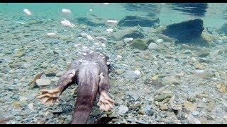 The autumn river is also beautiful ~short movie~ [Otter life Day 144] 秋の清流もまた美しい