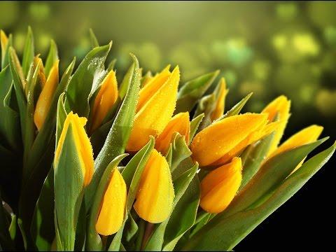 Тюльпаны Стронг Голд. Strong Gold