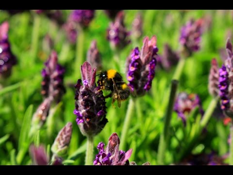 Tips on Growing Lavender in Your Garden | Lavender Plants | 薰衣草種植方法