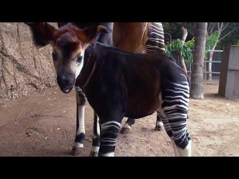 Mosi, the Floppy-eared Okapi Calf