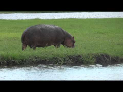 Hippo on the bank in Botswana