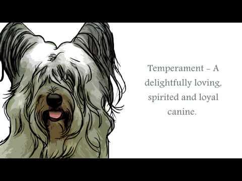 Skye Terrier Video