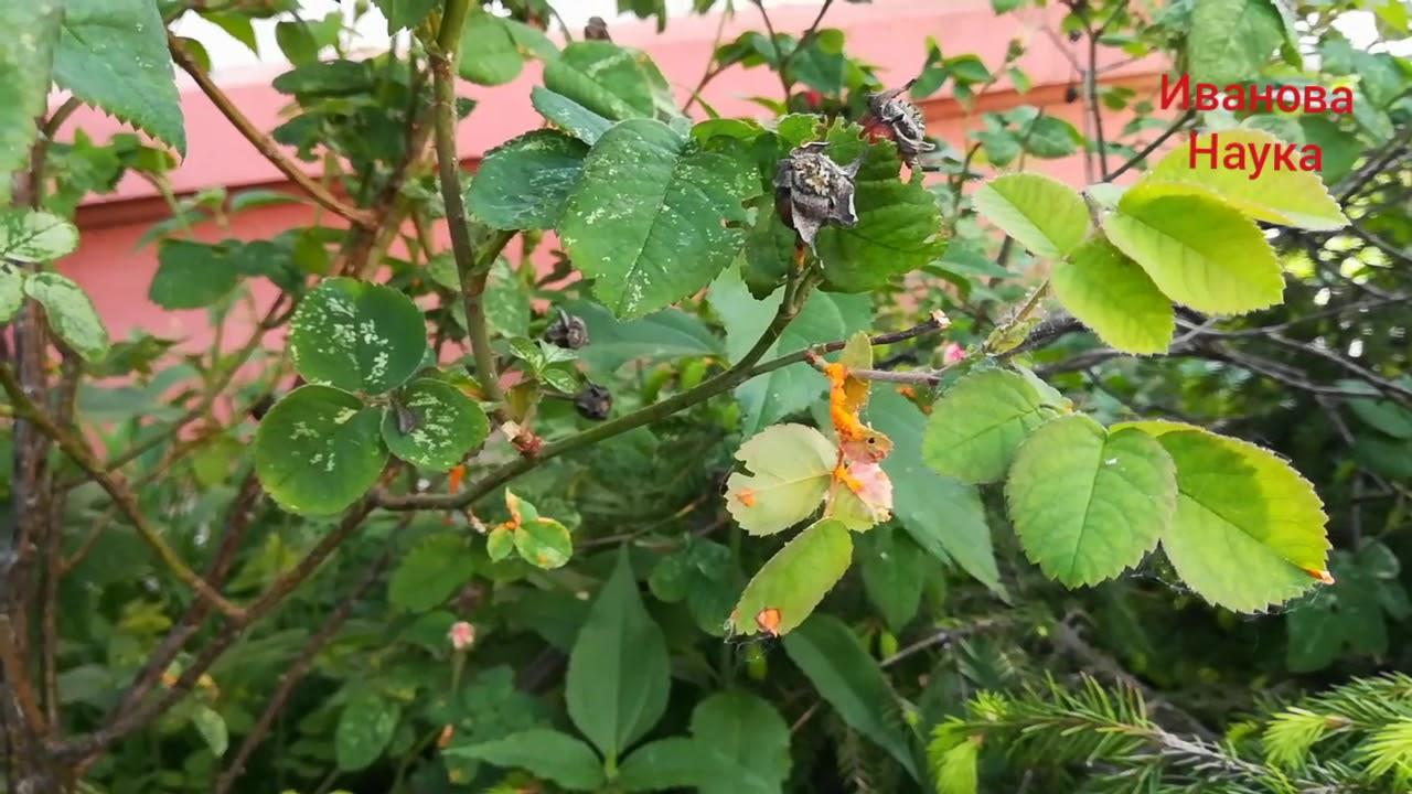 Копеечный рецепт для профилактики ржавчины и марсонии на розах и не только.