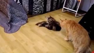 Как ведут себя коты Мейн Кун после вязки) Или просто история нежности