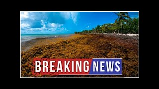 Mysterious masses of seaweed assault Caribbean islands