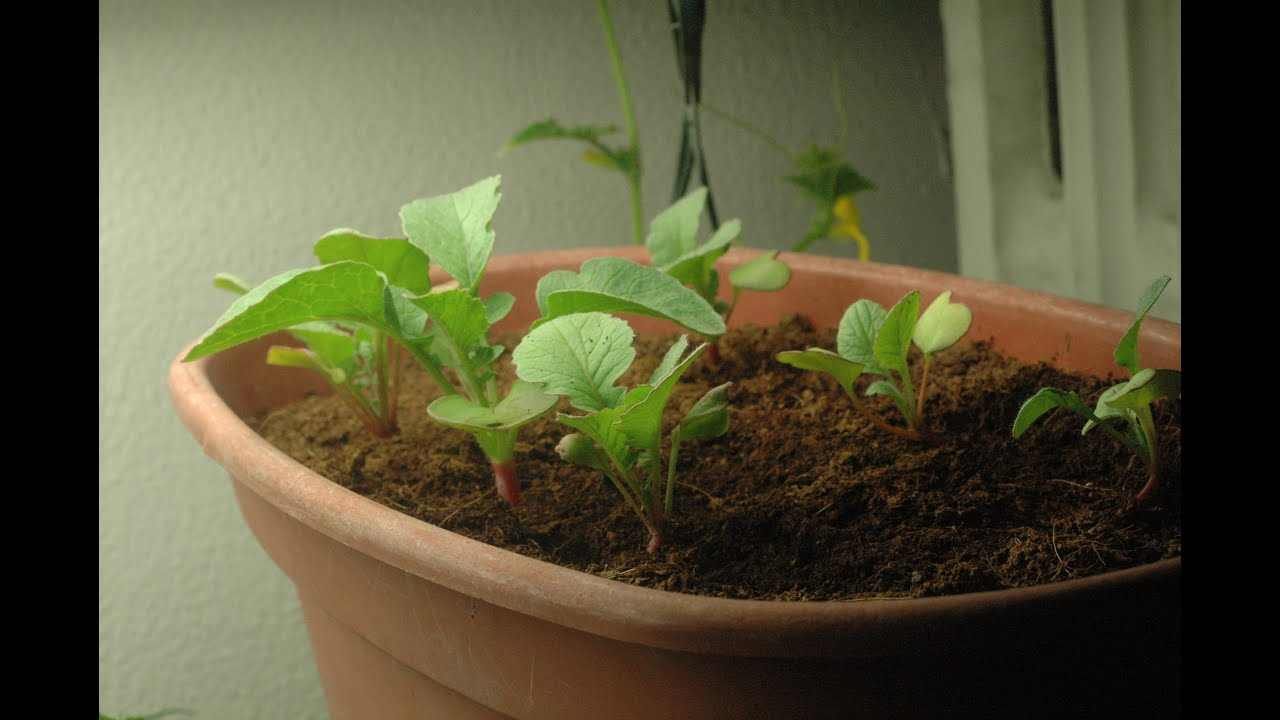 Growing Radishes In Coco Indoors