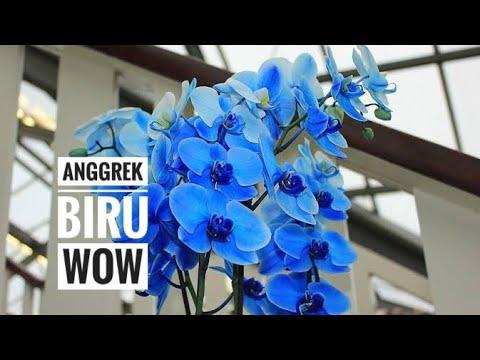 Anggrek Biru Youtube