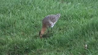 Black tailed Godwit foraging   Grutt foeragerend   Aarlanderveen   The Netherlands   Luuk Punt 19031